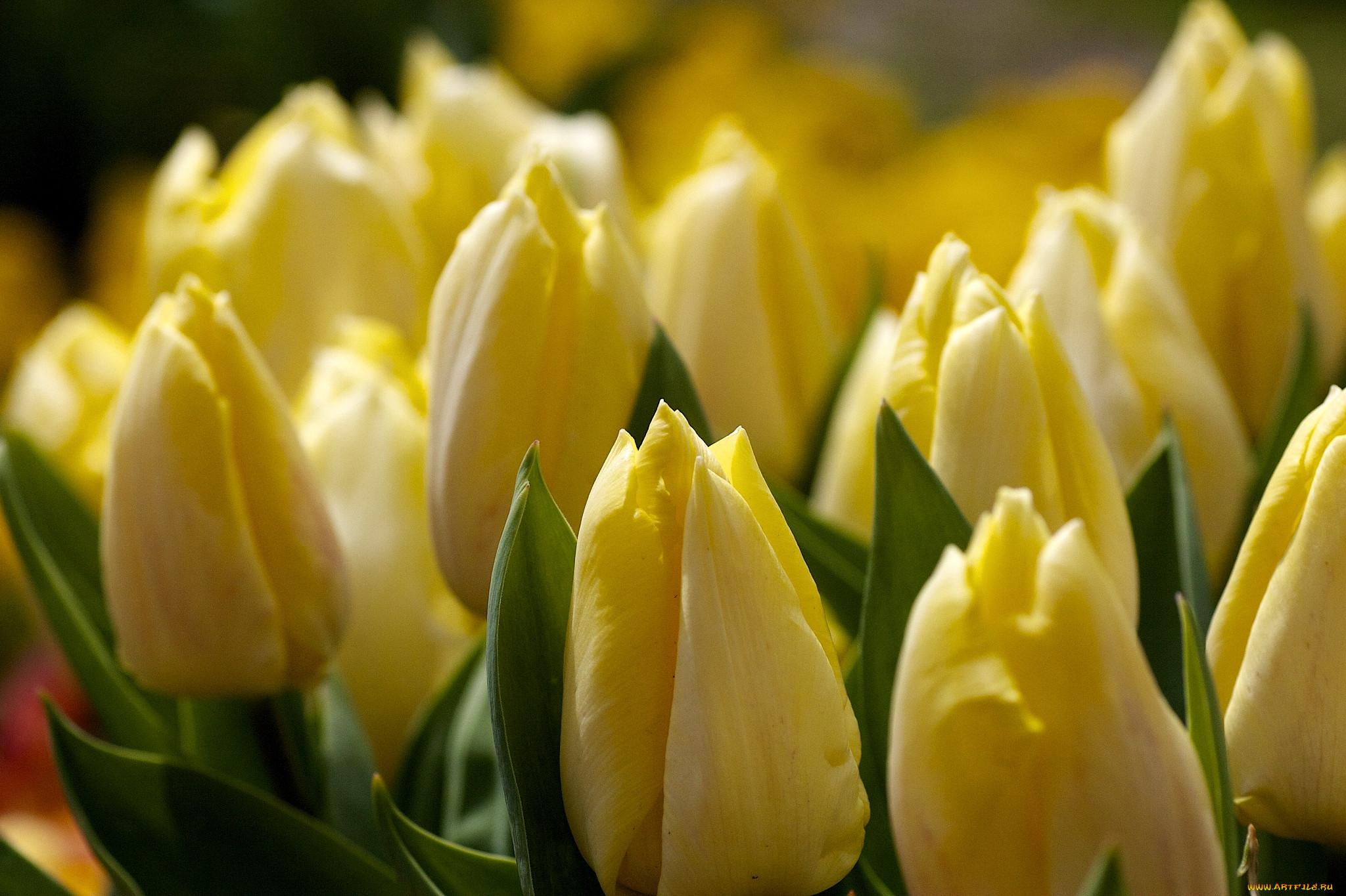 фотообои желтые тюльпаны раскрасить